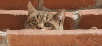 cat-curious-young-cat-cat-s-eyes courtesy of Pixabay
