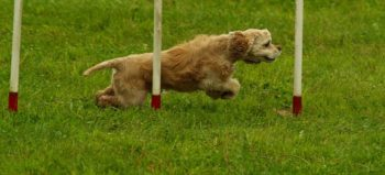 dog-agility-sport-motion-pet courtesy of Pixabay