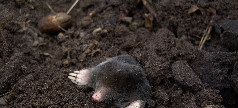 mole-nature-animals-molehills courtesy of Pixabay