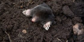 mole-nature-animals-molehills courtesy of Pixabay