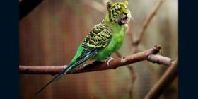 tiger-budgie-tiger-parakeet courtesy of Pixabay