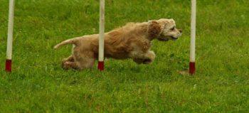 dog-agility-sport-motion-pet courtesy of Pixabay