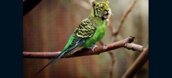 tiger-budgie-tiger-parakeet courtesy of Pixabay